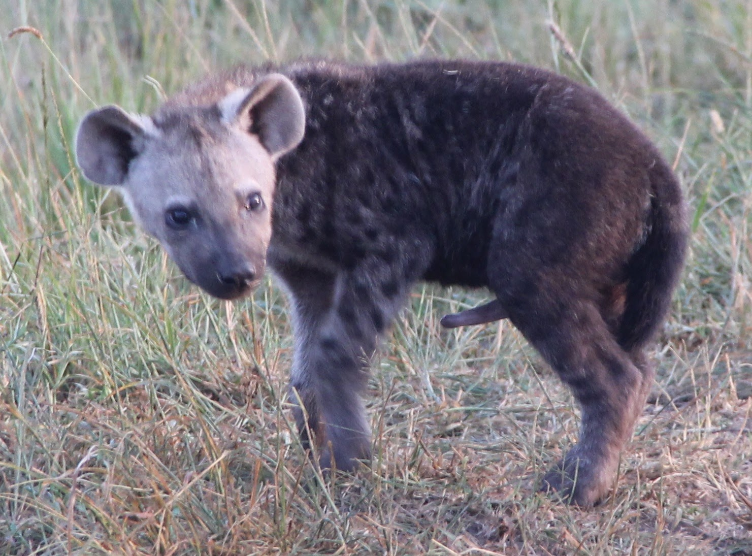 Notes From Kenya Msu Hyena Research Cub Demography