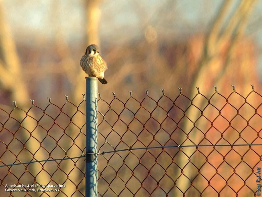 The City Birder: 11/01/2013 - 12/01/2013