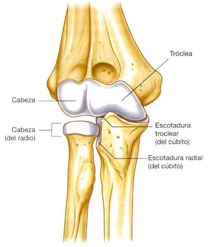 Nuestro esqueleto: Miembro superior: Articulación del codo