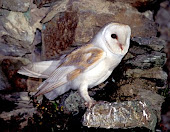 Barn Owl Sightings