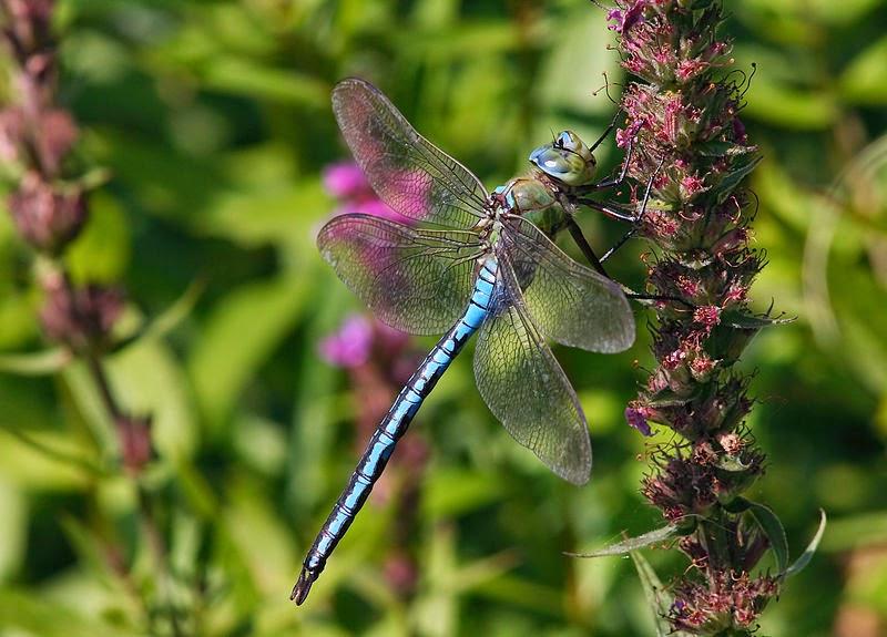 Características, alimentação, reprodução e distribuição do Imperador azul (Anax imperator).