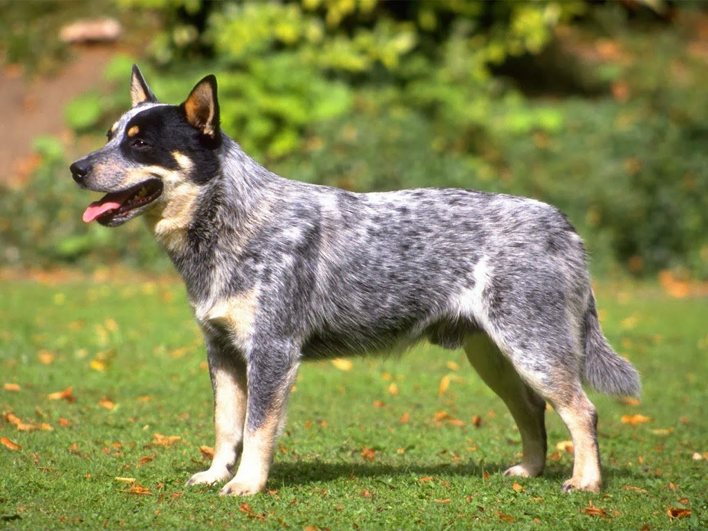 Picture of Australian Cattle Dog the 10th smartest dog in the world