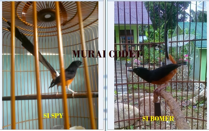 kB · jpeg, Ciri-Ciri Membedakan Burung Murai Batu Jantan Dan Betina
