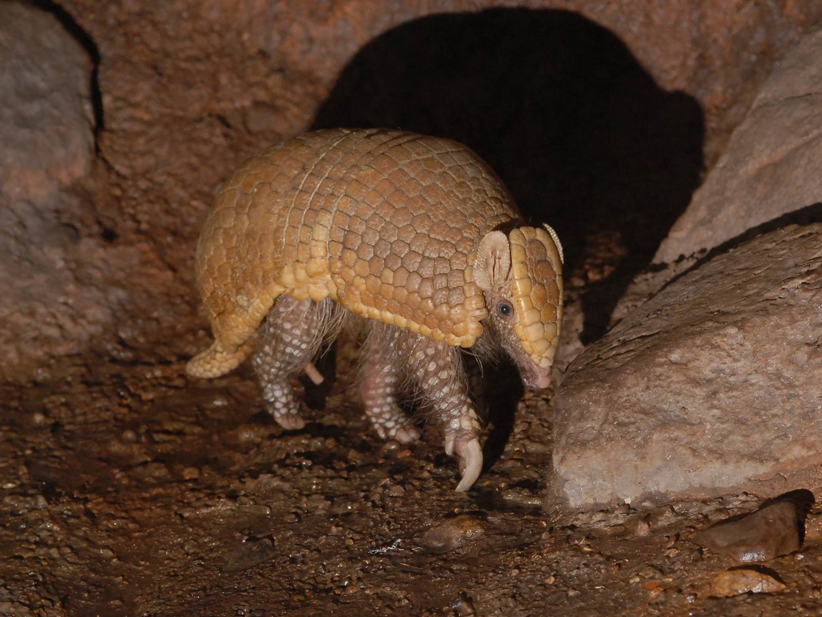 Wallpaper Collections Armadillo Wallpaper