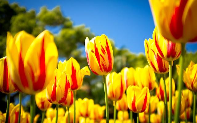 Ảnh đẹp cuộc sống: Bộ hình nền đẹp về cánh đồng hoa Tulip 7