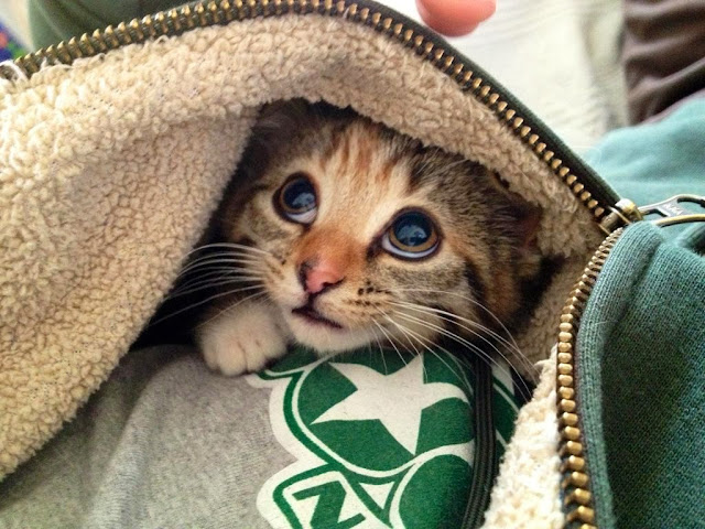 Funny cats - part 85 (40 pics + 10 gifs), kitten under jacket