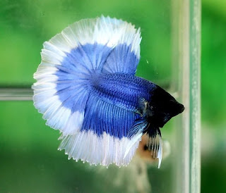 Brunei bettas may 2011 for Black betta fish for sale