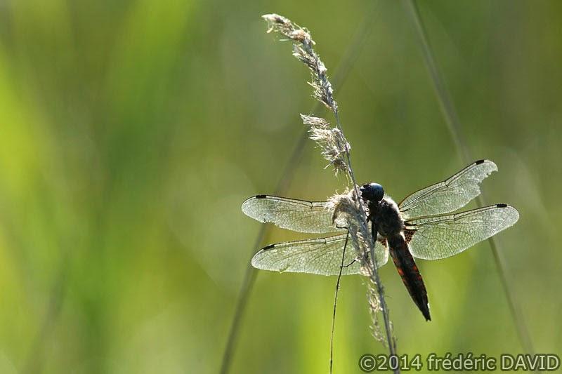 nature animaux insecte libellule macro marais Épisy Seine-et-Marne