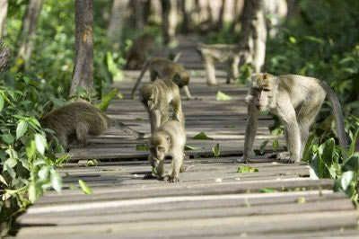 Kera di Pulau Kembang