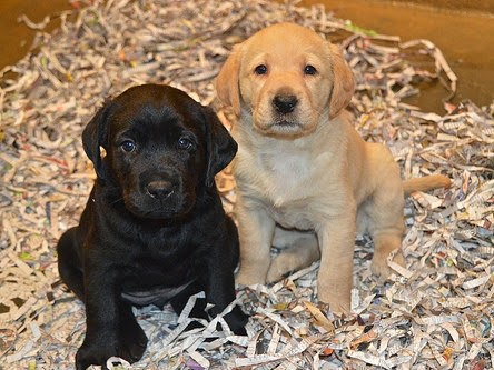 A Black and Yellow Lab puppy sit next to each other.