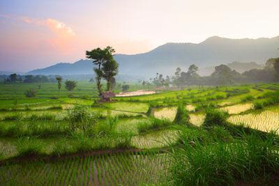 Descubra cómo siembran el arróz en Bali, Indonesia.