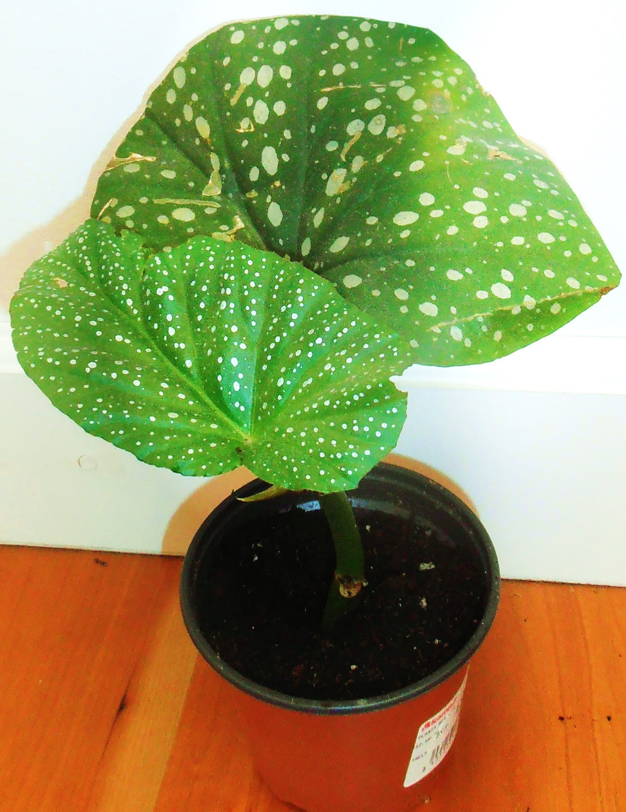 La ventana de javiruli plantas de interior 8 cuidados begonia tiki carmen o alas de ngel - Plantas de interior tropicales ...