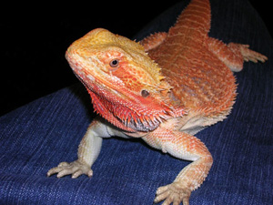 bearded dragons for free
