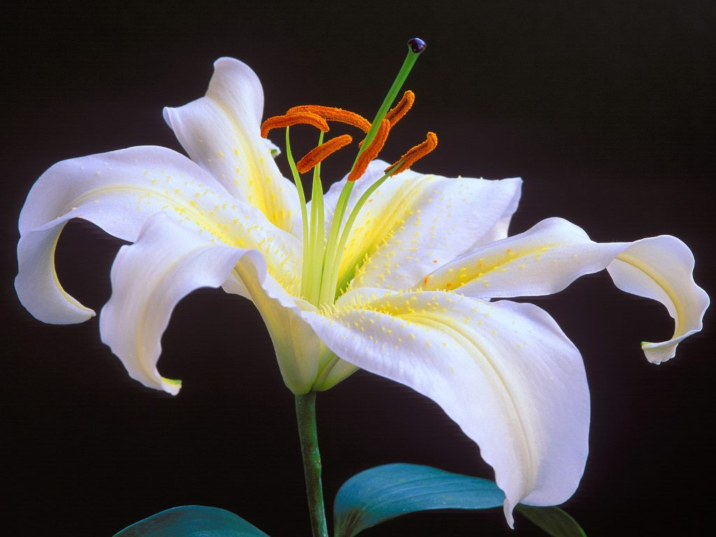 Lily color of flowers o wallpaper picture photo lily color of flowers o izmirmasajfo Choice Image