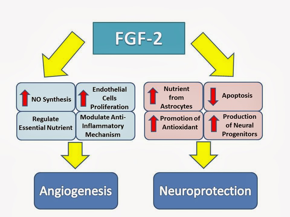 fibroblast growth factors fgfs Fibroblast growth factors (fgfs) make up a large family of polypeptide growth factors that are found in organisms ranging from nematodes to humans in vertebrates, the 22 members of the fgf.