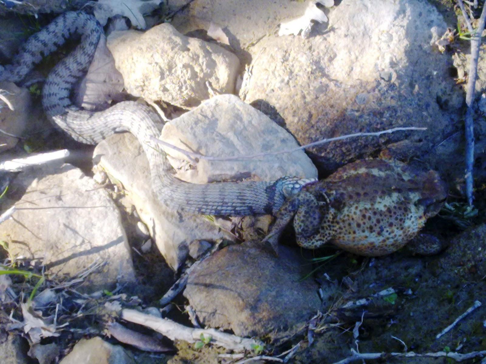 Cir super il blog di cir aprile 2012 for Serpente cervone