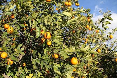 Naranjos de Finca Santiago en Murcia. Blog Esteban Capdevila