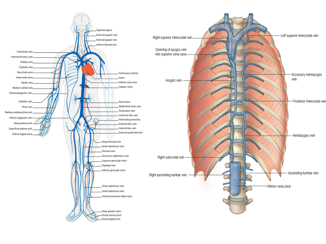 MBBS Medicine (Humanity First): The Veins