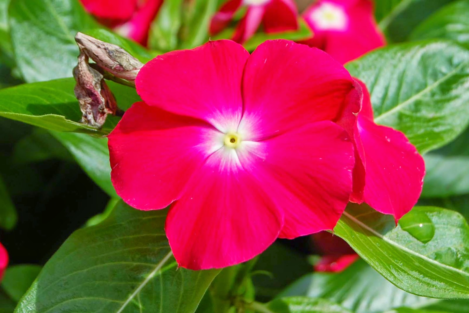 Annual vinca catharanthus roseus rotary botanical gardens jaio scarlet w eye izmirmasajfo Gallery