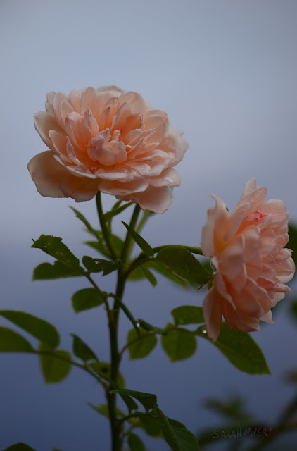 roses, rose, flower, rain, storm, weather, sky, bloom, flowers, water, petals, leaves, blue, pink, peach, plantas, rosa, natura, garden, Sarah Myers, nature, photography, digital, beauty, gentle, atmospheric, plants, dew, desert