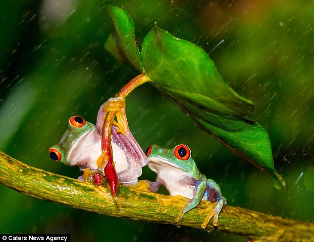 FROGS WITH UMBRELLA