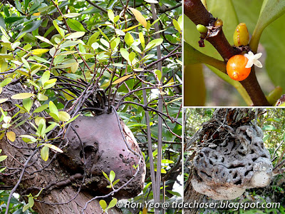 Baboon's Head (Hydnophytum formicarum)