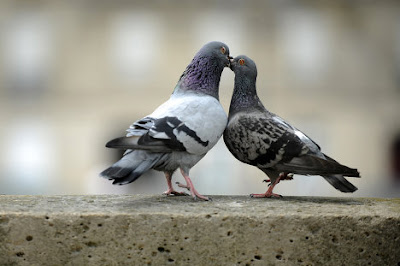 animales-raros-palomas-besos