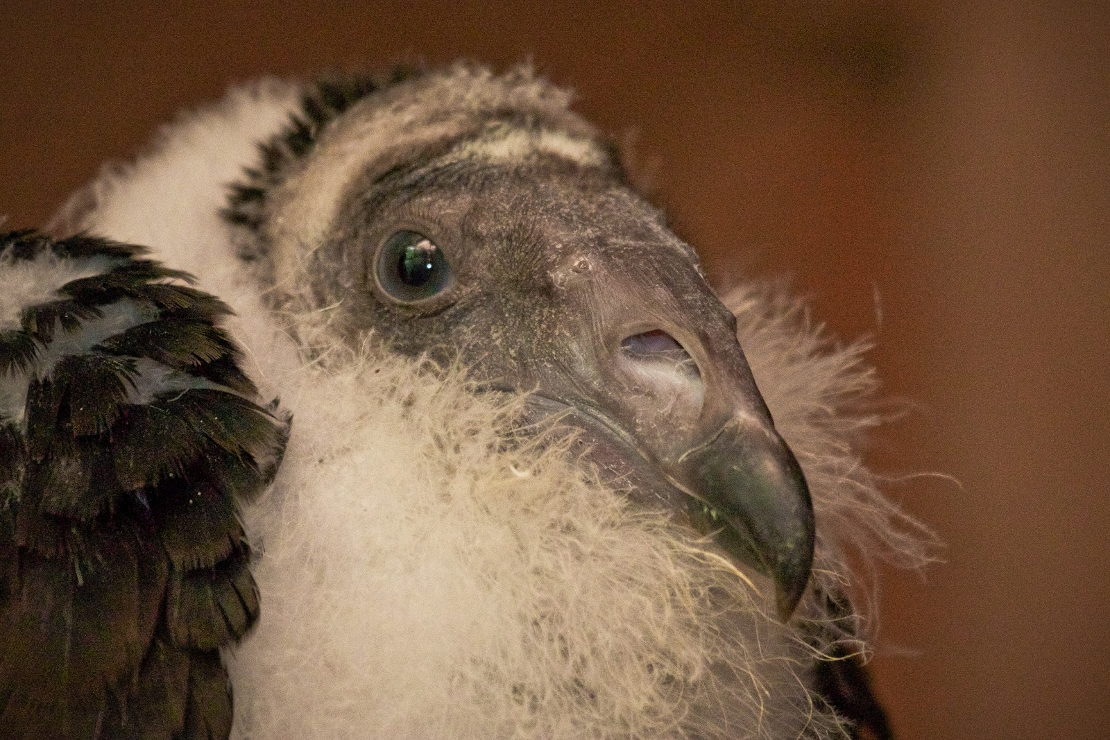 Baby Vulture
