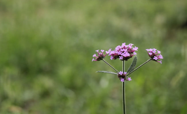 Tall Verbena Flowers