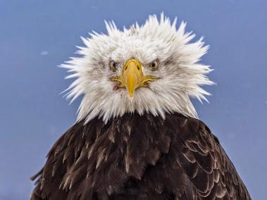 気難しそうな白頭鷲