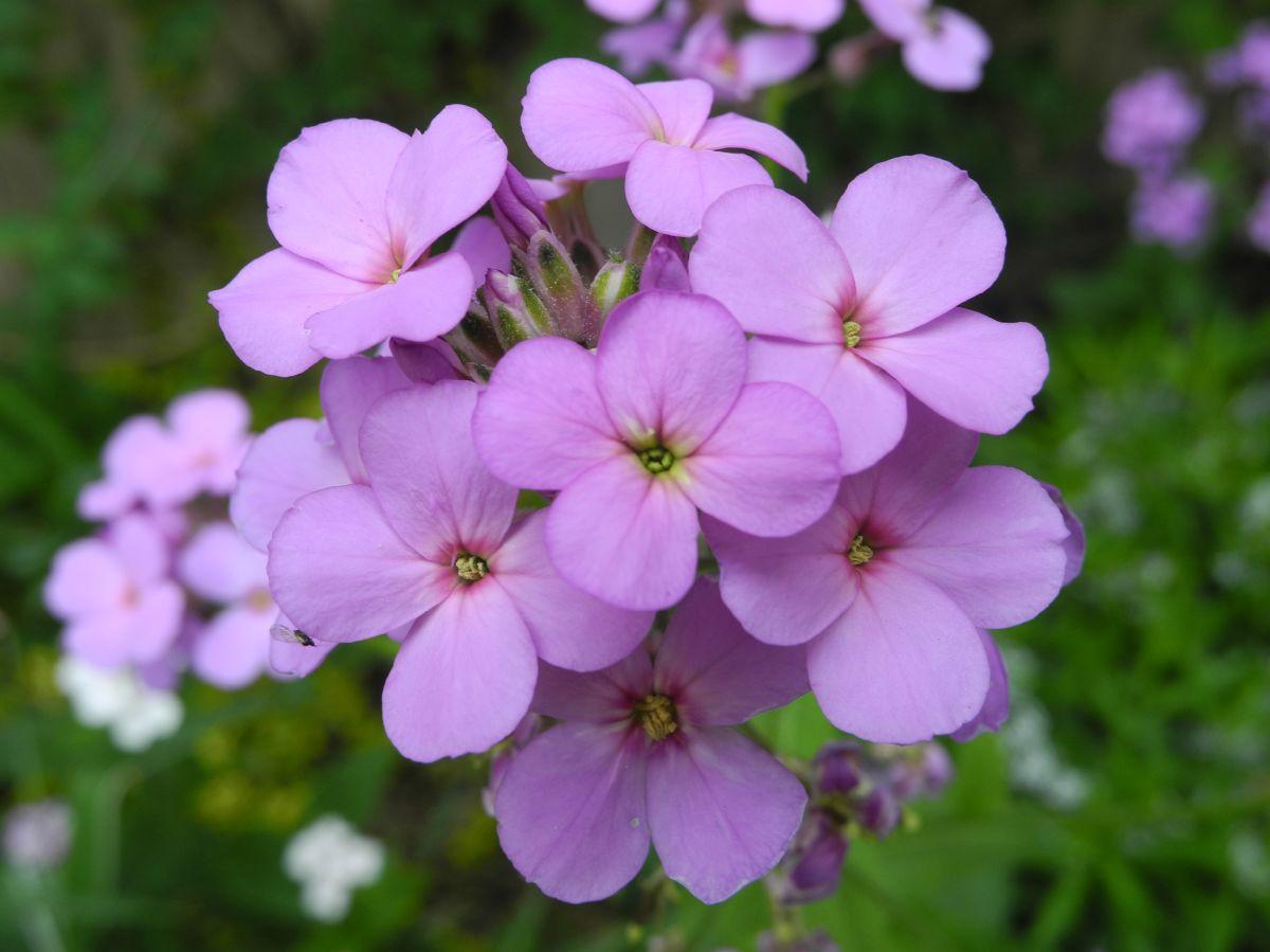 cvet nocna frajla