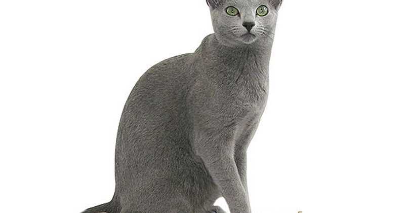Kucing Gue Mengenal Kucing Russian Blue