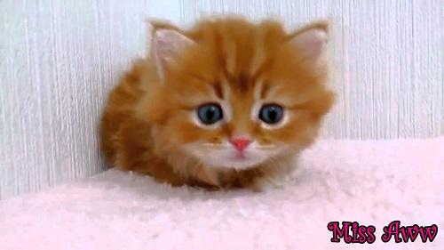 Photo chaton trop mignon tigr photo de chat - Image de chaton trop mimi ...