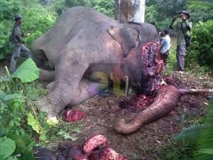 Presiden Instruksikan Pembunuh Gajah Aceh Diusut