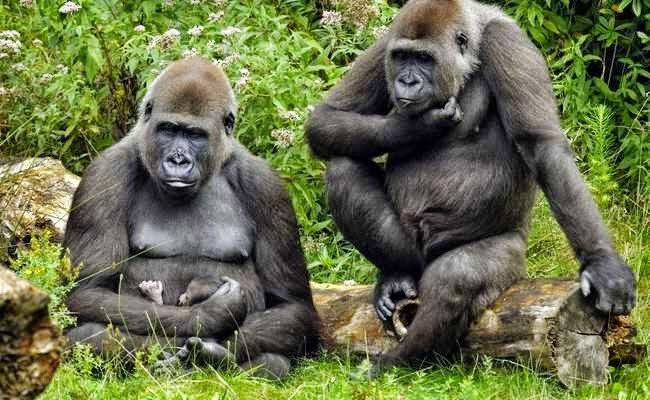 origen del VIH se encuentra en los gorilas