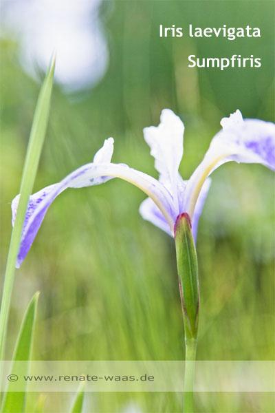 Teich Pflanzen, Planzen Gartenteich,Teichrand bepflanzen mit Iris, Bepflanzung Gartenteich, Beete