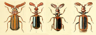 Paussine beetles