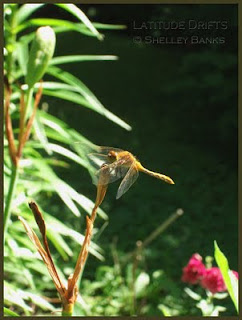 Meadowhawk dragonfly - photo by Shelley Banks