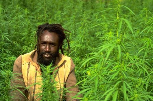 Jamaica vai descriminalizar maconha ainda esse ano