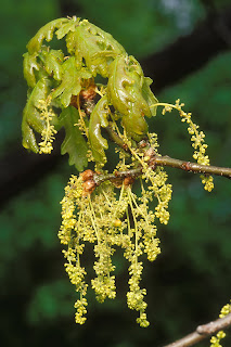 Дуб медонос  дуб пыльценос