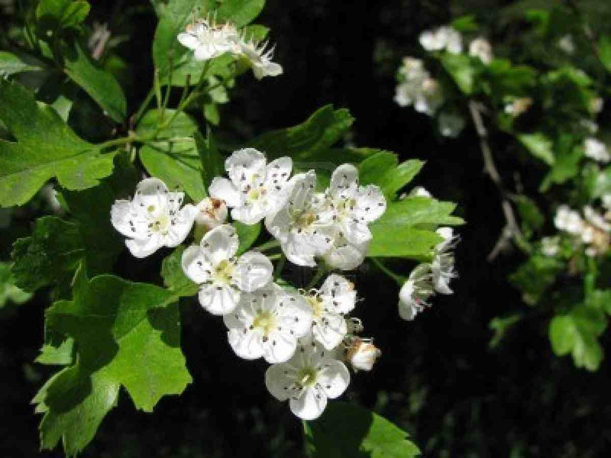 Trees Planet Crataegus monogyna – eseed Hawthorn – May