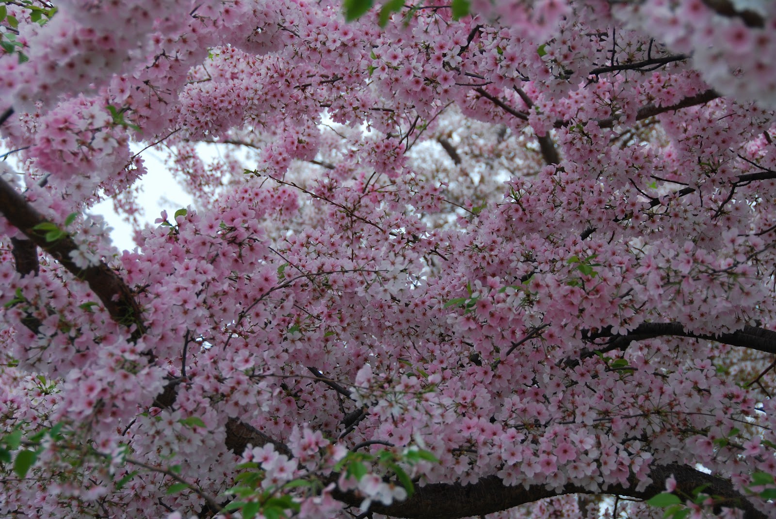 Cheers For The Cherry Blossoms