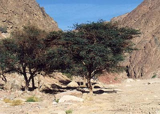http://www.opoae.com/2013/04/pohon-yang-melindungi-kaum-laknat-yahudi.html
