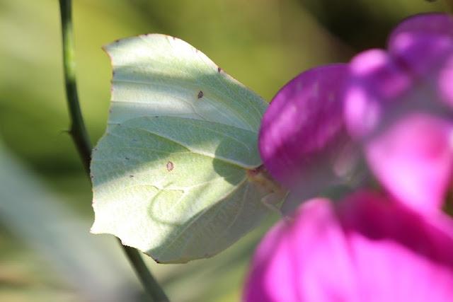 Tierfotos - Schmetterlinge - Zitronenfalter - Weibchen
