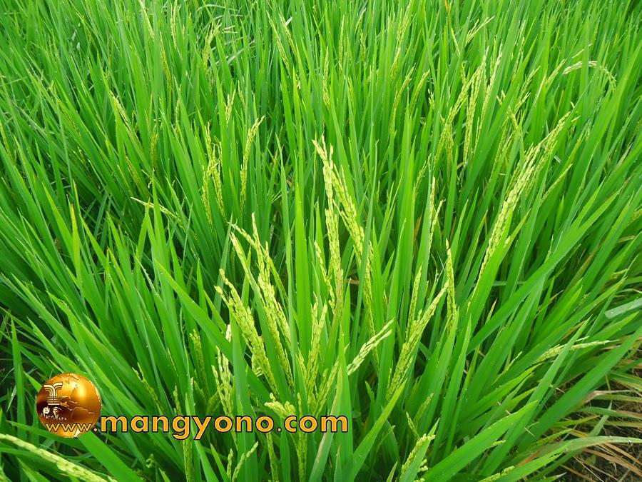 FOTO : Bunga padi