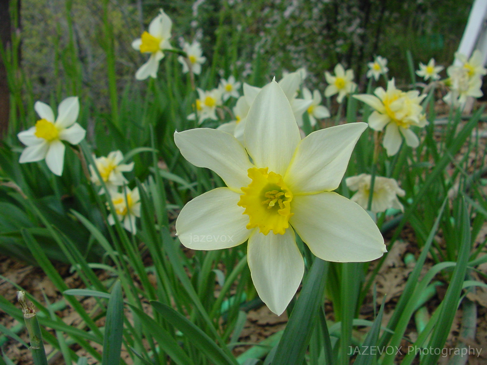 gardeners land yellow daffodil flowers in the spring time