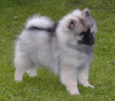 Keeshond Puppy Pictures