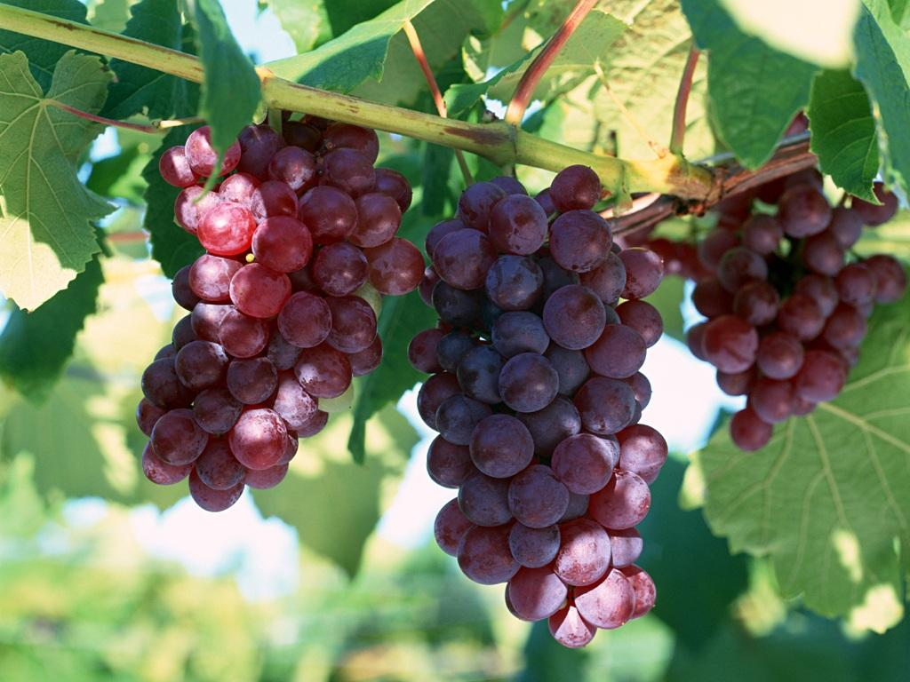 the benefits of grape for our health