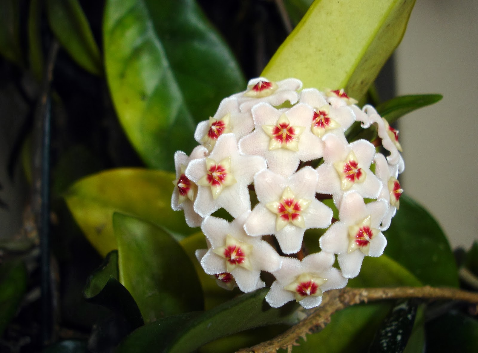 Flowers by Friends Wax Plant Hoya camosa flowers by Janet