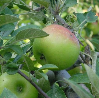Tanaman Pohon Buah Apel